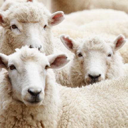 羊(イメージ画像)