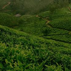 緑茶(イメージ)