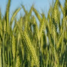大麦(イメージ)